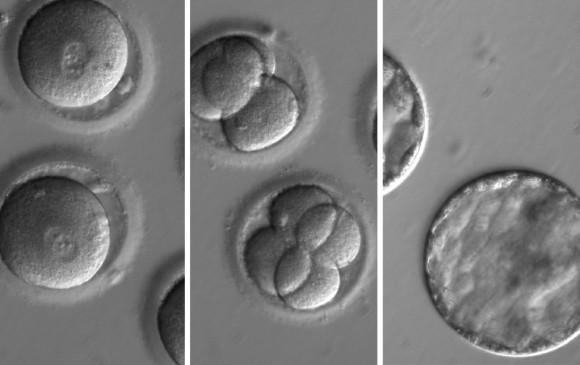 Embrión humano es modificado genéticamente por primera vez en Estados Unidos