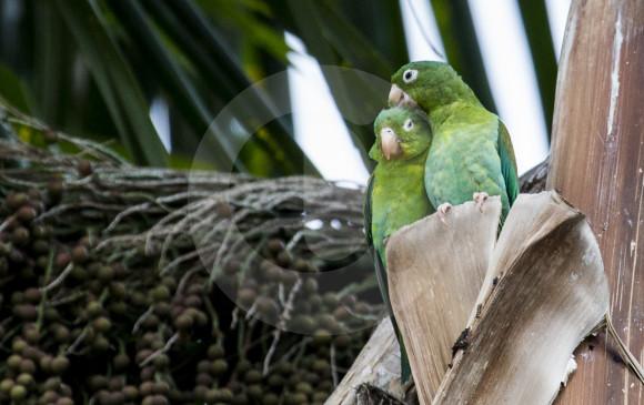 A diferencia del hombre, el periquito bronceado (Brotogeris sp) puede expresar libremente sus manifestaciones de afecto. FOTOS JULIO CÉSAR HERRERA