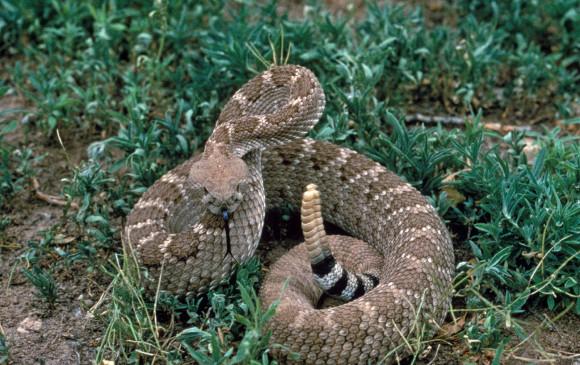 Una serpiente cascabel, como la que fue decapitada. Foto United States Fish and Wildlife Service
