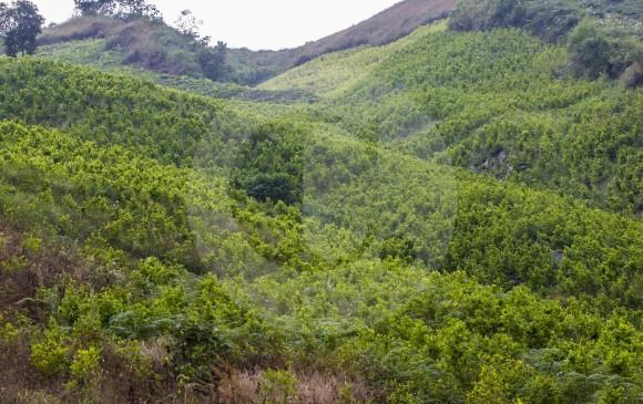 La Casa Blanca reporta 188.000 hectáreas sembradas de matas de coca