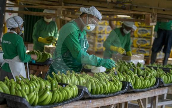 Los grandes productores, además invirtieron en la consolidación de pasivos, que representó 28,4 %, y el 16,6 % se utilizó para inversión, en aspectos como maquinaria y equipos (más para banano), y adecuación de tierras, servicios de apoyo. Foto El Colombiano