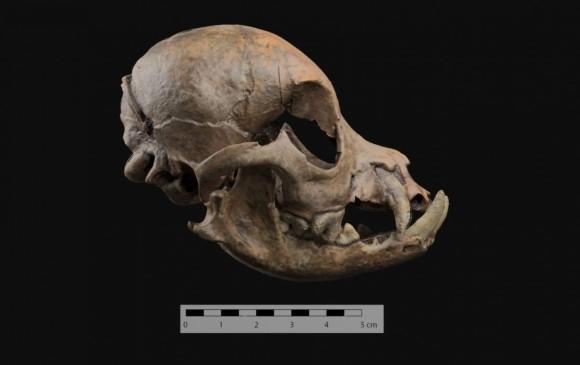 Se hicieron hallazgos también sobre sus ritos funerarios con los animales. Foto: Agencia Sinc, Universidad de Granada