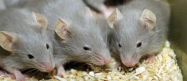 Científicos lograron revertir el envejecimiento en ratones