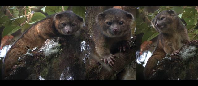 Nueva especie de carnívoro vive en Antioquia
