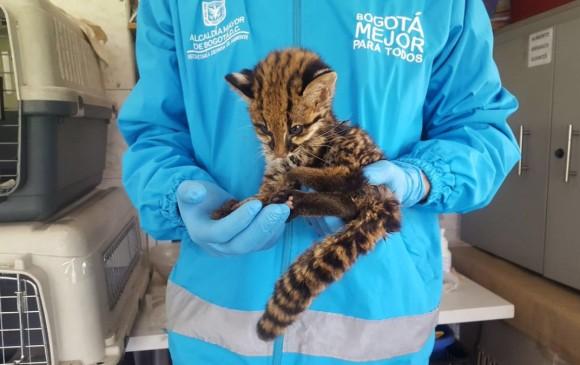 Rescatan a un leopardo en las calles de Bogotá