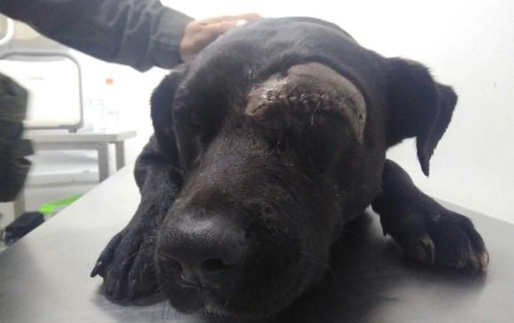 Negro fue operado en una clínica veterinaria del oriente antioqueño. Sin embargo, fue imposible salvar su ojo. FOTO CORTESÍA