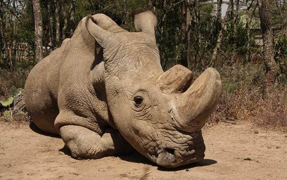 Sudán, el último macho de los rinocerontes blancos, agoniza. Foto Ol Pejeta/Facebook