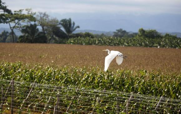 Cultivo de maíz en Meta, departamento que más siembra el maíz transgénico. FOTO Julio Herrera