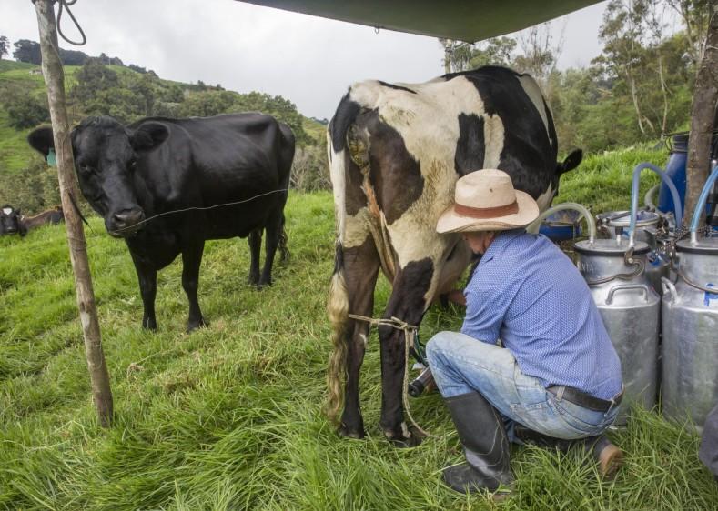 Gustavo Elías Mazo dos veces al día invierte entre tres y cuatro horas para ordeñar sus 18 vacas, a la misma hora, con vocación milimétrica. Foto: Edwin Bustamante