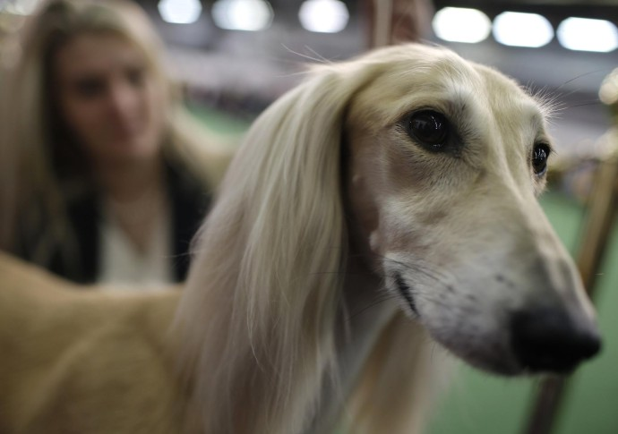 Snapple, un Saluki de Ohio. FOTO REUTERS