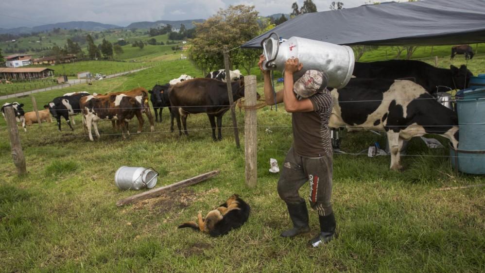 Luis Taborda, en una finca de San Pedro de los Milagros, carga una caneca que puede contener hasta 40 litros de leche. Foto: Edwin Bustamante