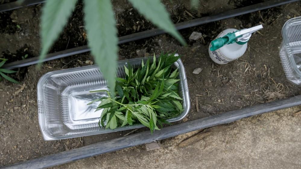 Esquejes (tallos para introducirlos en tierra para reproducir la planta) FOTO: SANTIAGO MESA.