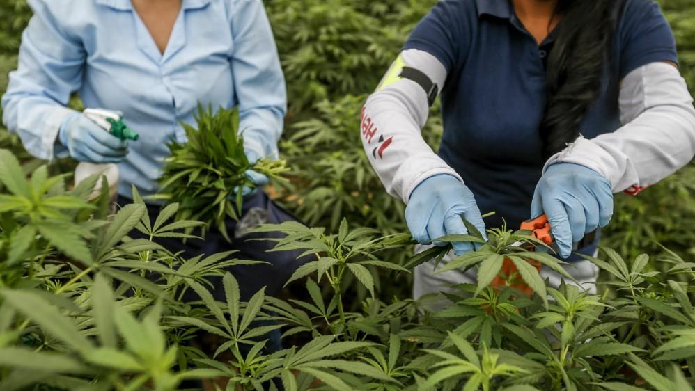 Dos empleadas de PharmaCielo recolectan esquejes (tallos para introducirlos en tierra para reproducir la planta) FOTO: SANTIAGO MESA.