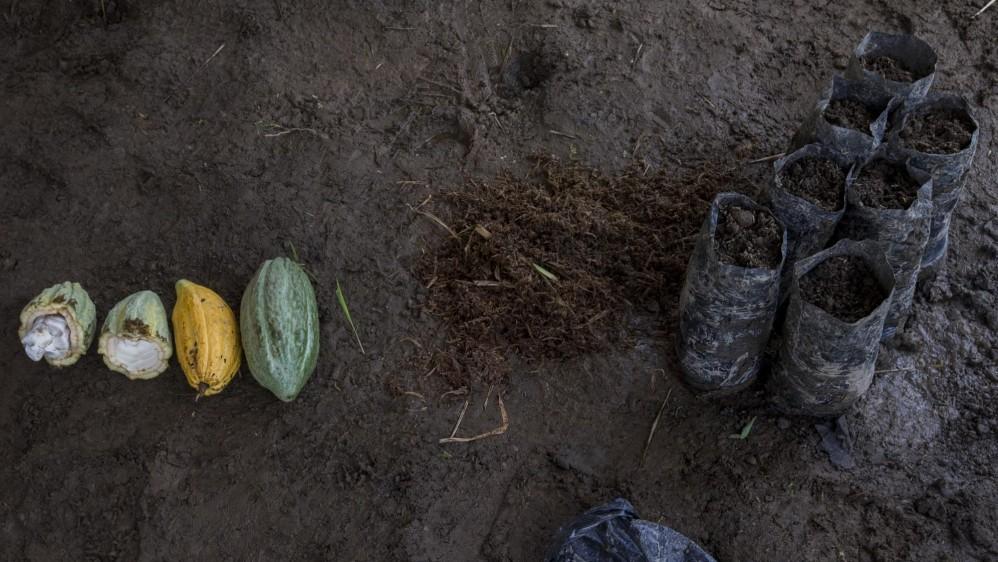 La semilla de cacao se siembra en bolsas negras y se mantienen por dos meses en un invernadero hasta que se trasladan a campo. Foto: Santiago Mesa.