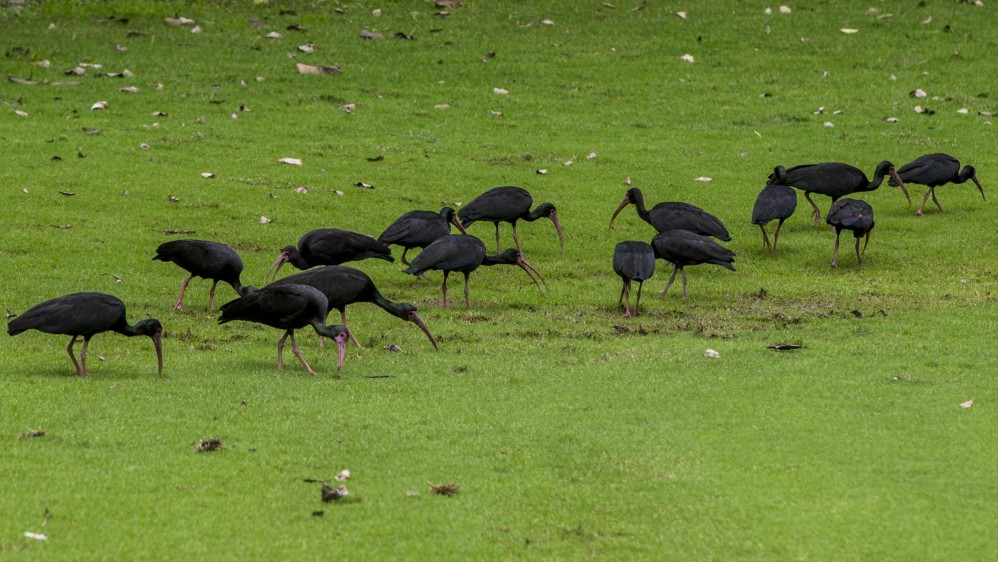 El bis Negro (Phimosus infuscatus) es otra de las especies que vive en tranquilidad en el club El Rodeo. Foto: JAIME PÉREZ.
