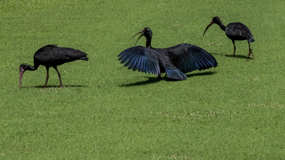 Ibis Negro (Phimosus infuscatus) es otra de las especies que vive en tranquilidad en el club El Rodeo. Foto: JAIME PÉREZ.