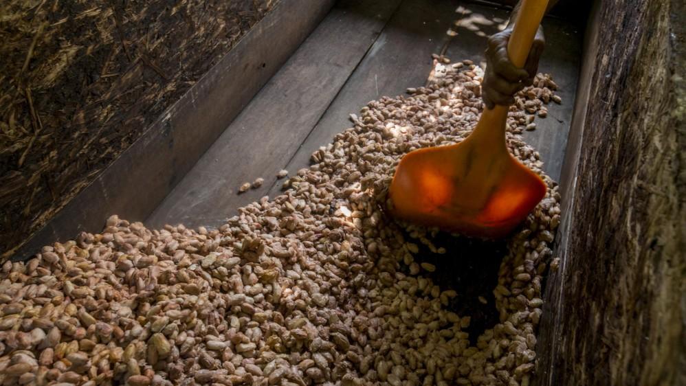 Cuando sale el fruto, las semillas se llevan a fermentar por siete días (este proceso se llama licor de cacao). Foto: Santiago Mesa.