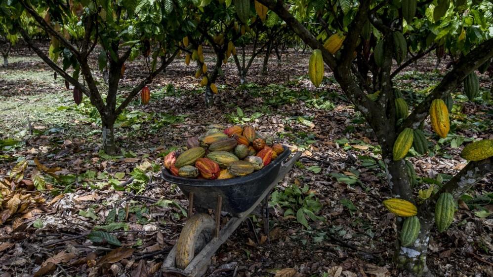 60.535 toneladas fue la producción de cacao en 2017 en el país según la Federación nacional de Cacaoteros. Foto: Santiago Mesa.