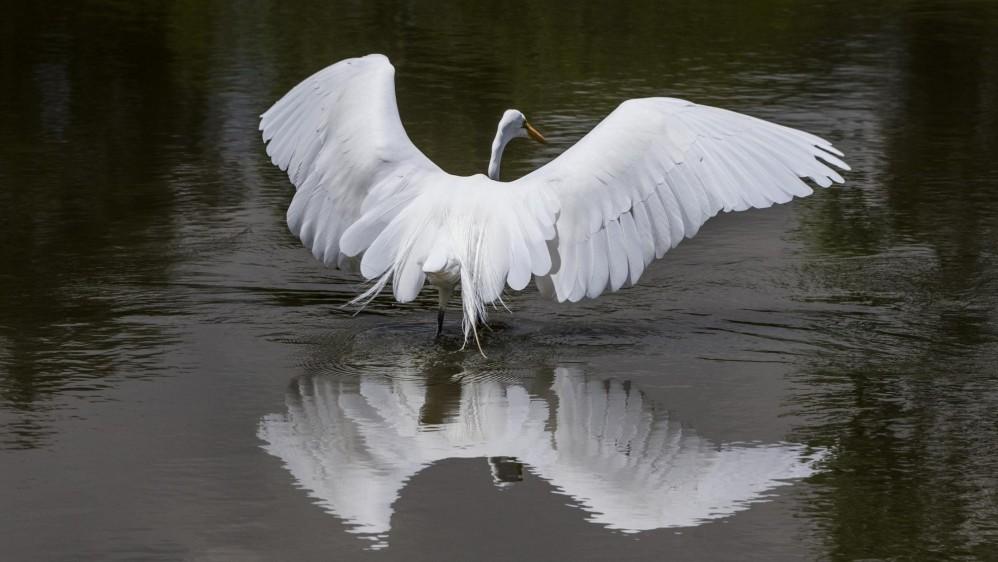 La Garza Blanca (Ardea alba) se alimenta en uno de los lagos del club El Rodeo. Foto: JAIME PÉREZ.