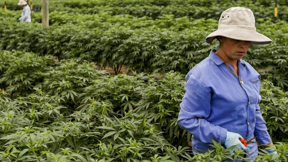 PharmaCielo está iniciando el cultivo y el procesamiento de grandes volúmenes de flores de cannabis natural, para obtener extractos de aceites medicinales. FOTO: SANTIAGO MESA.