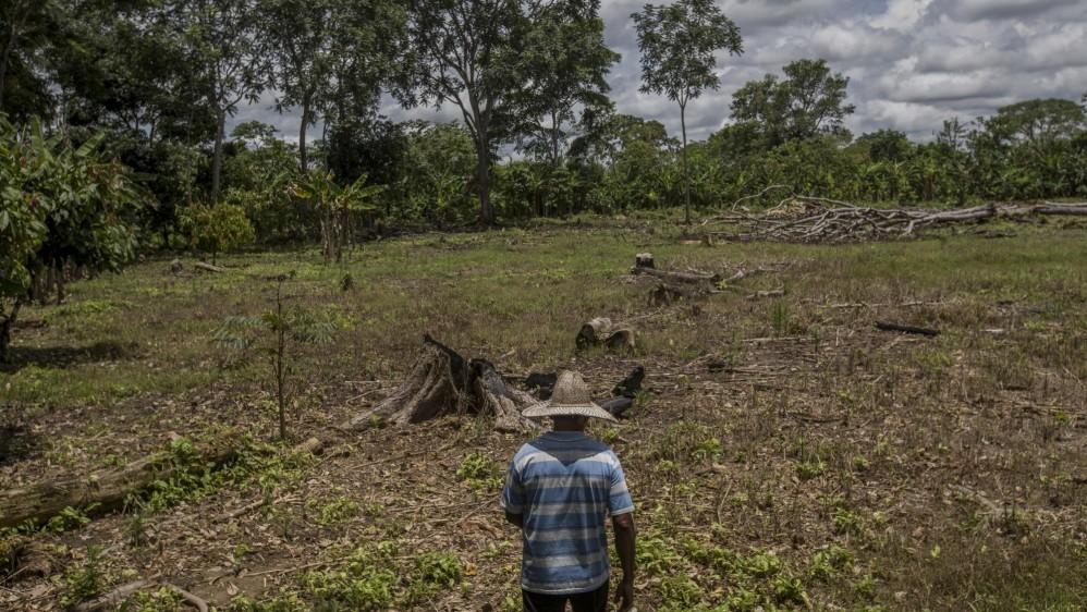 En la zona de siembra se plantan árboles que inicialmente sirven para obtener algunos ingresos como el plátano, pero que después sirven de sombra para las matas de cacao que tardan dos años en dar su primera cosecha. Foto: Santiago Mesa.