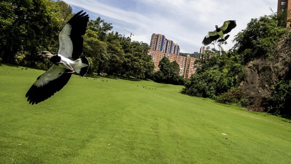 El Alcaraván (Burhinus oedicnemus) es una de las especies que se puede apreciar en el club El Rodeo. Foto: JAIME PÉREZ.