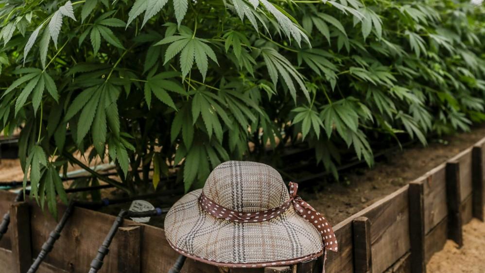 Parte de las tareas de la naciente agroindustria del cannabis medicinal, para evitar que sea vista como una nueva fachada del narcotráfico, es generar confianza. FOTO: SANTIAGO MESA.