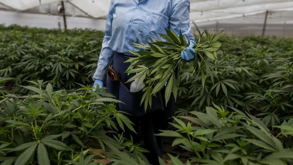 """""""Antes de conocer la planta tenía la idea de una mata fea y mala, pero cuando la conocí tuve una sensación distinta"""" Marisol Cardona, empleada de PharmaCielo. FOTO: SANTIAGO MESA"""