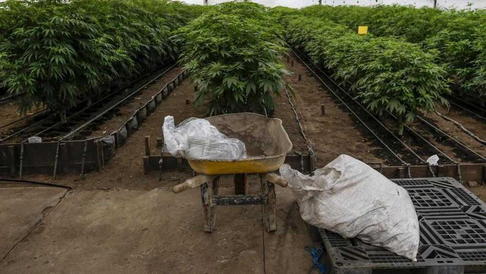 Esta industria no comercializa la flor, ni nacional ni internacionalmente, tampoco elabora productos fumables ni productos para el mercado ilegal. FOTO: SANTIAGO MESA.