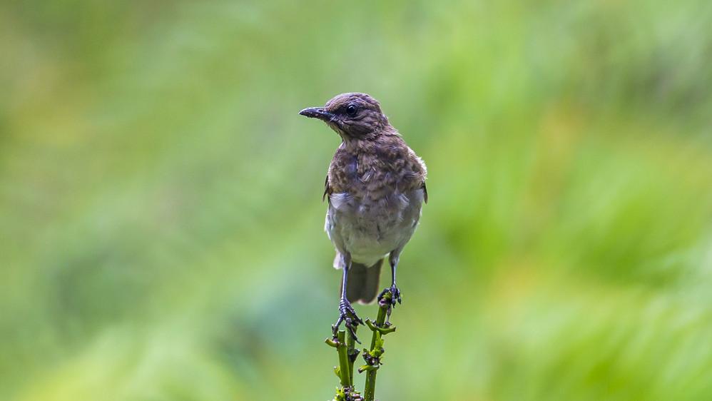Pájaro Mayo: esta ave suele encontrarse en áreas abiertas como parques y jardines de Medellín. FOTO: JUAN ANTONIO SÁNCHEZ OCAMPO
